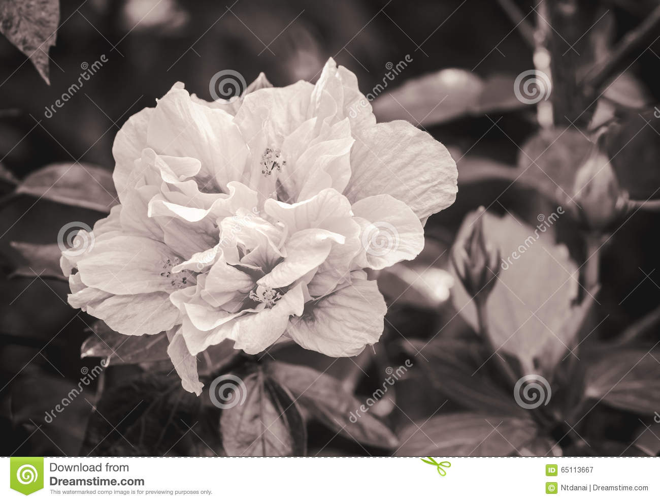 Hibiscus Flower In Black And White Stock Image Image Of Beautiful