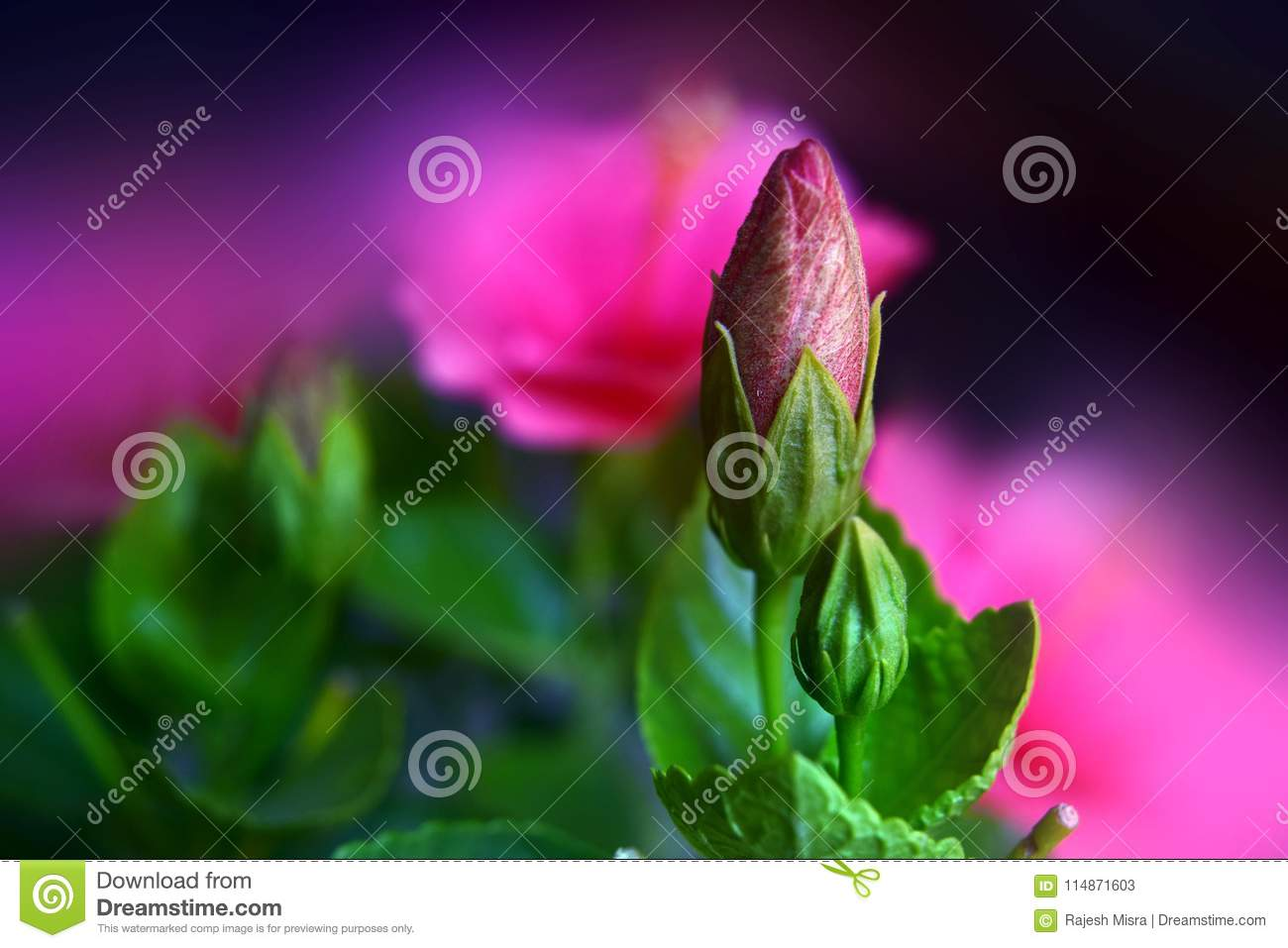 Hibiscus Flower Buds And Foliage Stock Image Image Of Blur Pink