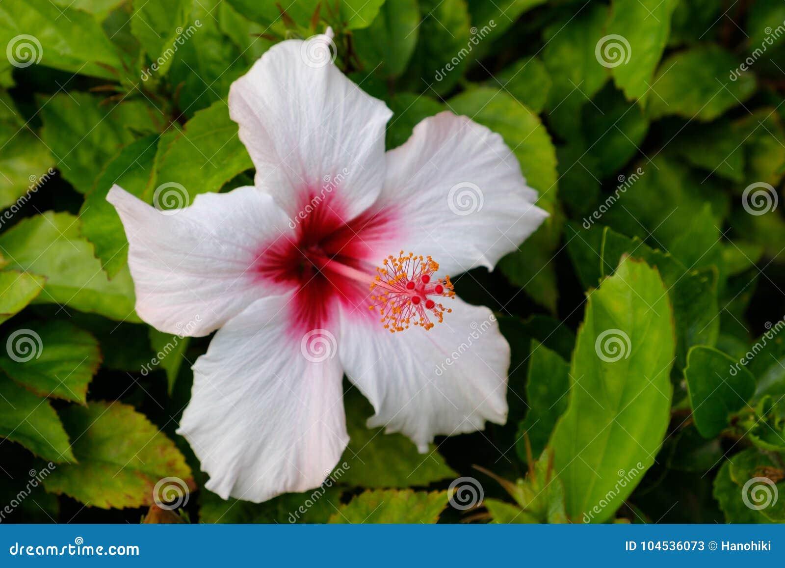 Hibiscus Flower Closeup Blooming White Hibiscus Stock Image