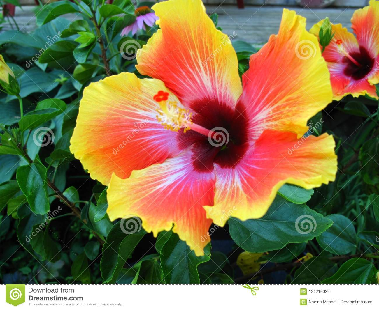 Hibiscus Flower With Deep Green Leaves Stock Photo Image Of Nature