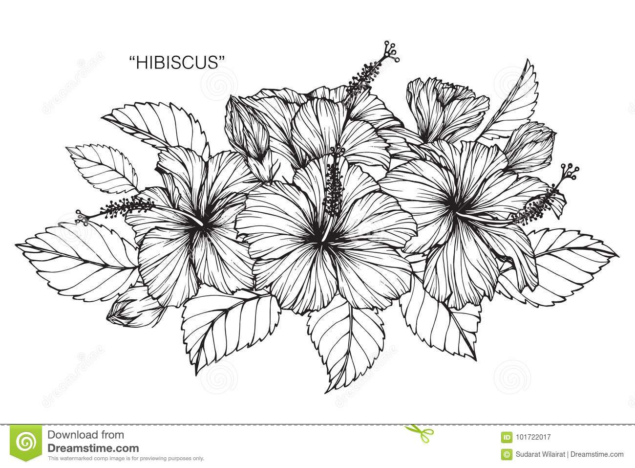 Hibiscus Flower Drawing And Sketch Stock Illustration