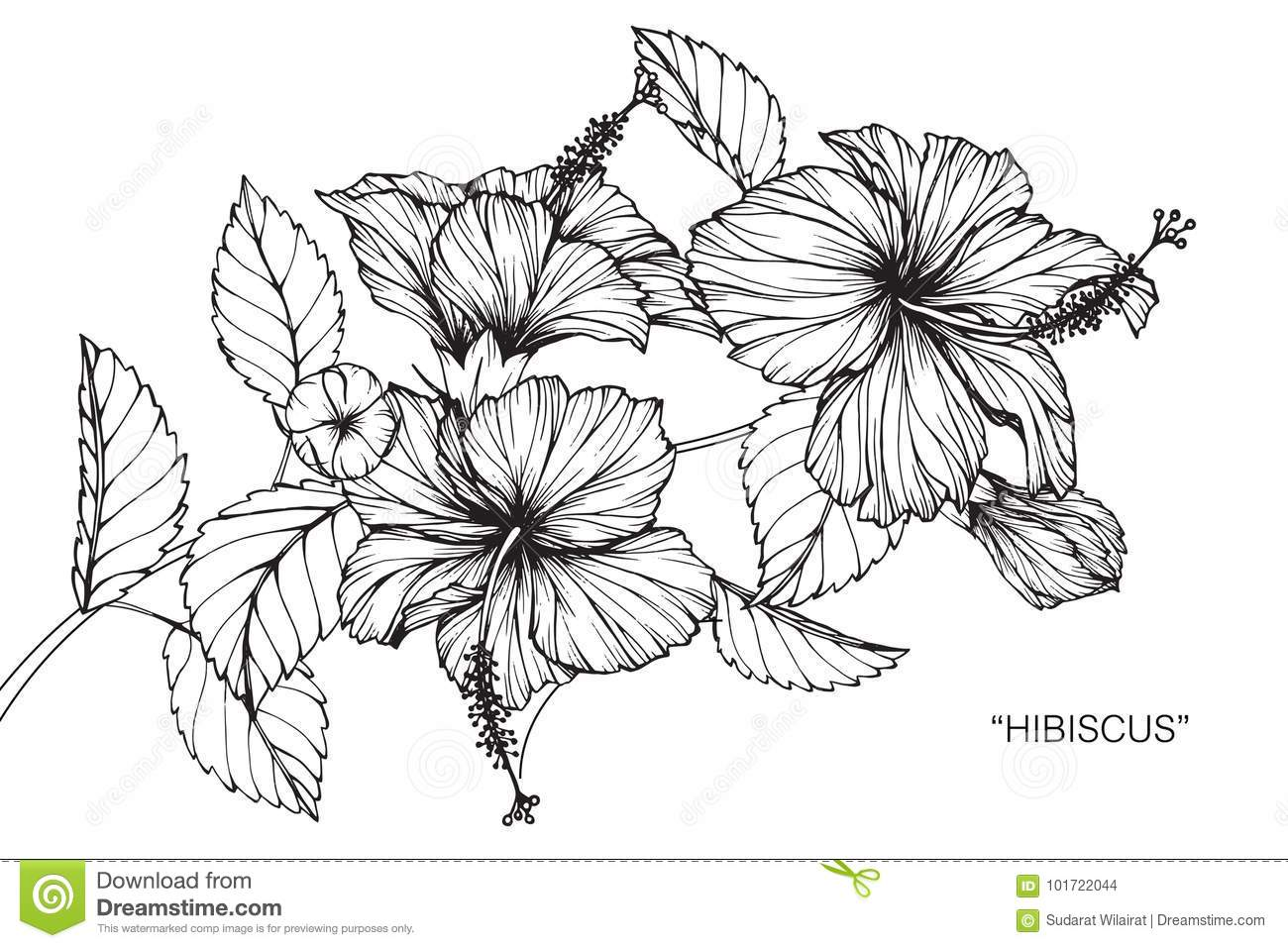 Hibiscus flower drawing and sketch stock illustration hibiscus flower drawing and sketch with line art on white backgrounds izmirmasajfo