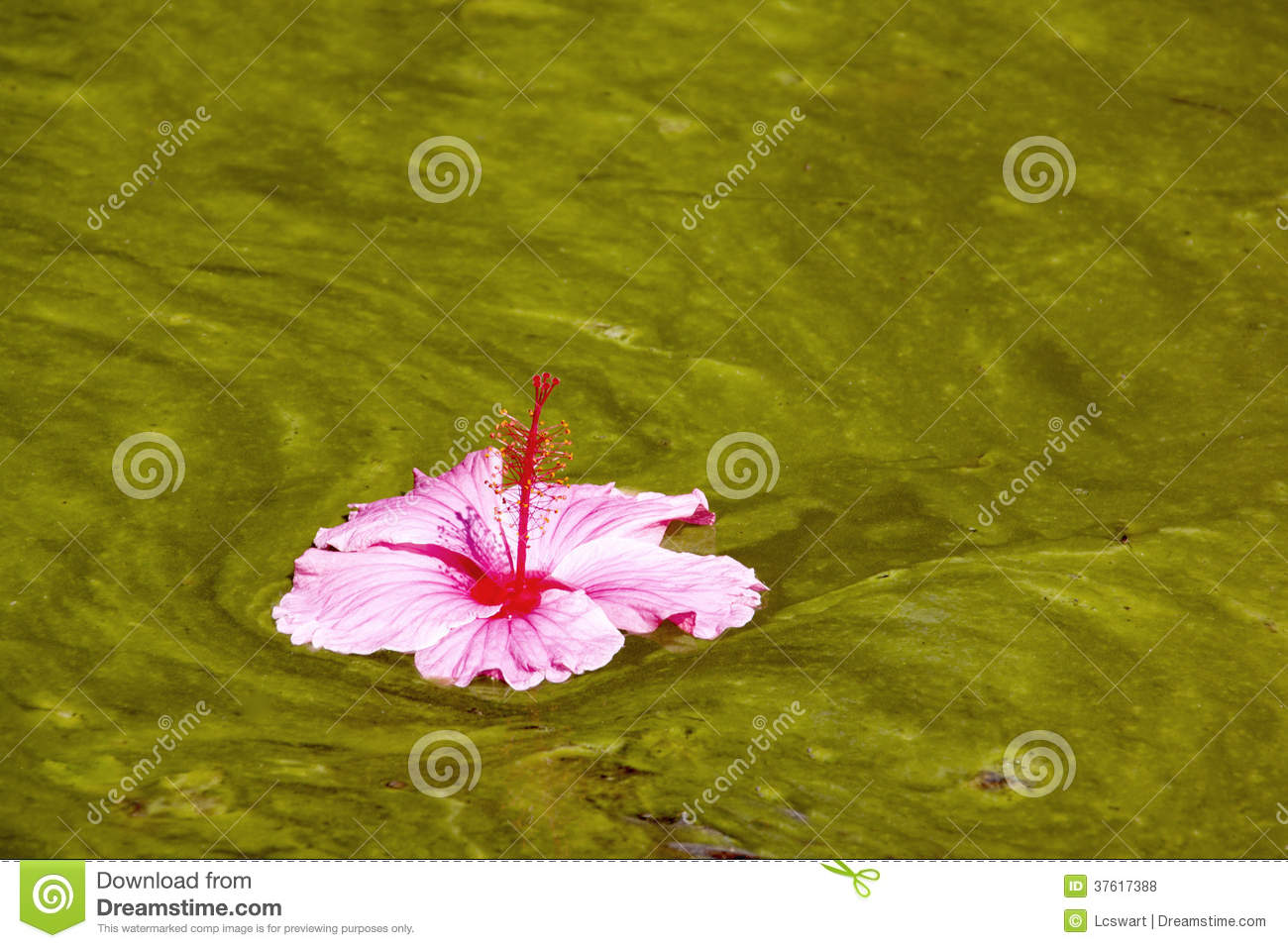 Hibiscus Flower Floating On Algae Infested Water Background Stock