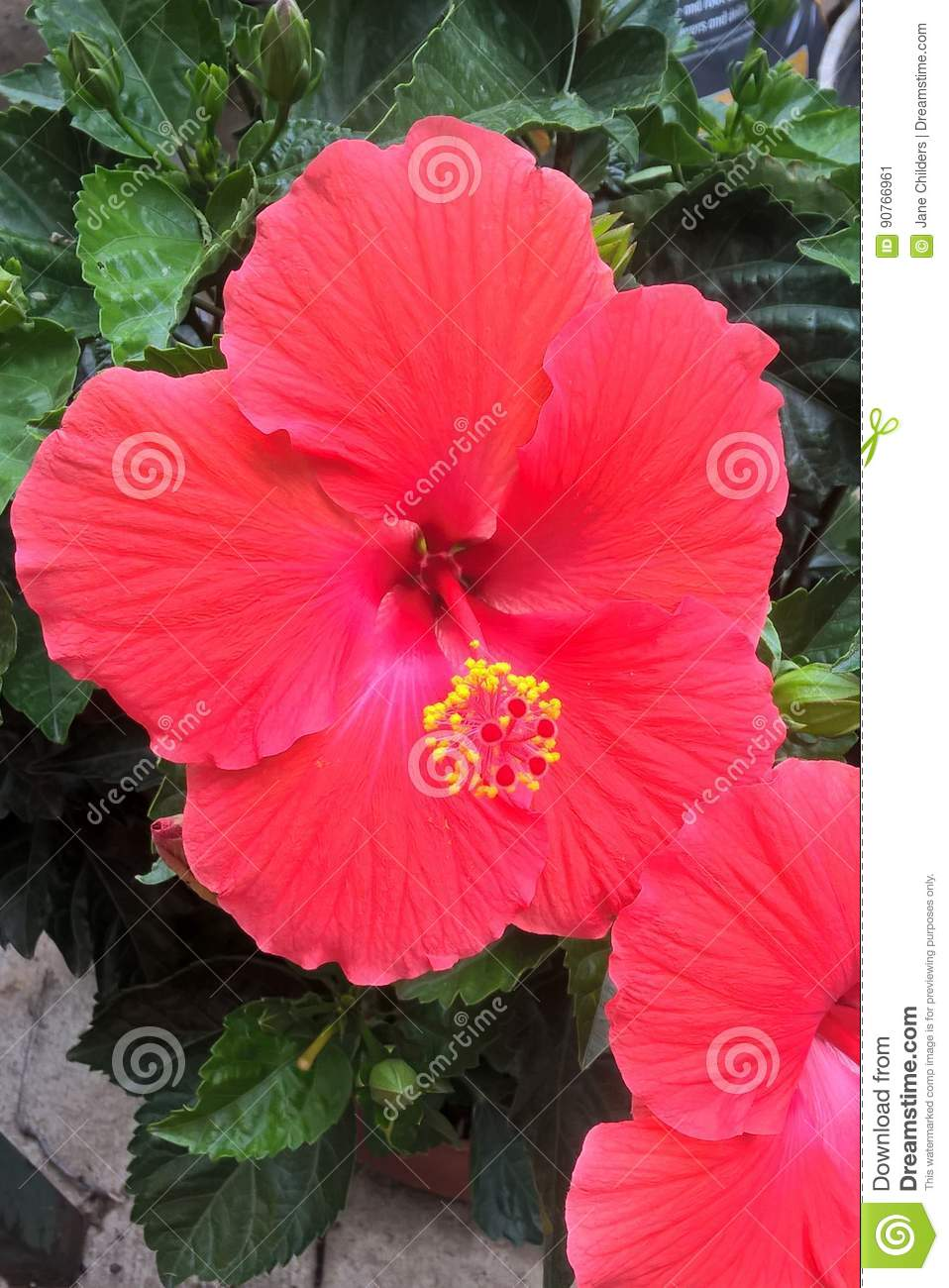 Hibiscus Flower Stock Image Image Of Growing Horticulture 90766961