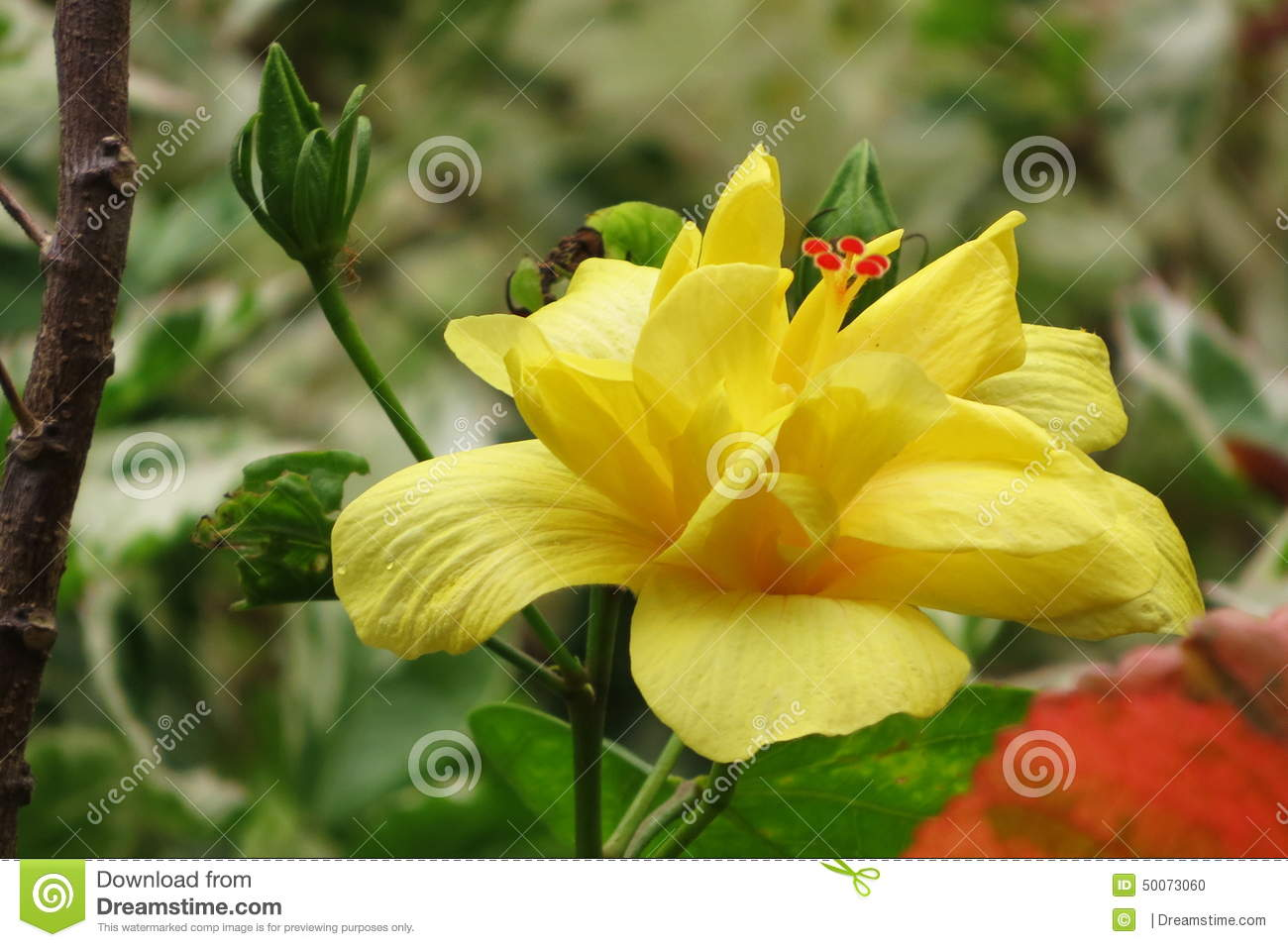 Hibiscus flower stock photo image of order multi family 50073060 hibiscus flower izmirmasajfo Choice Image