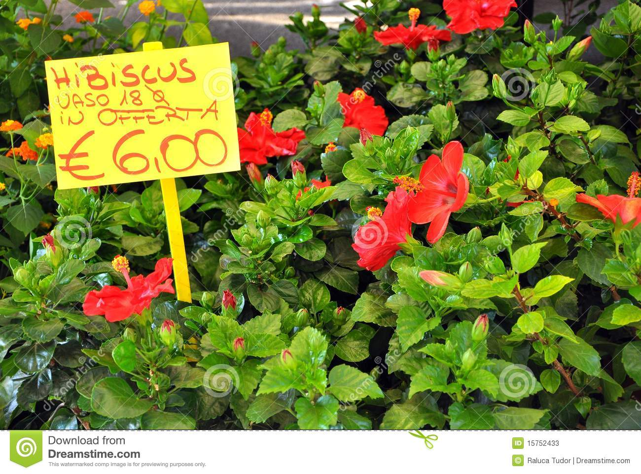 Hibiscus Flower In An Italian Market Stock s Image