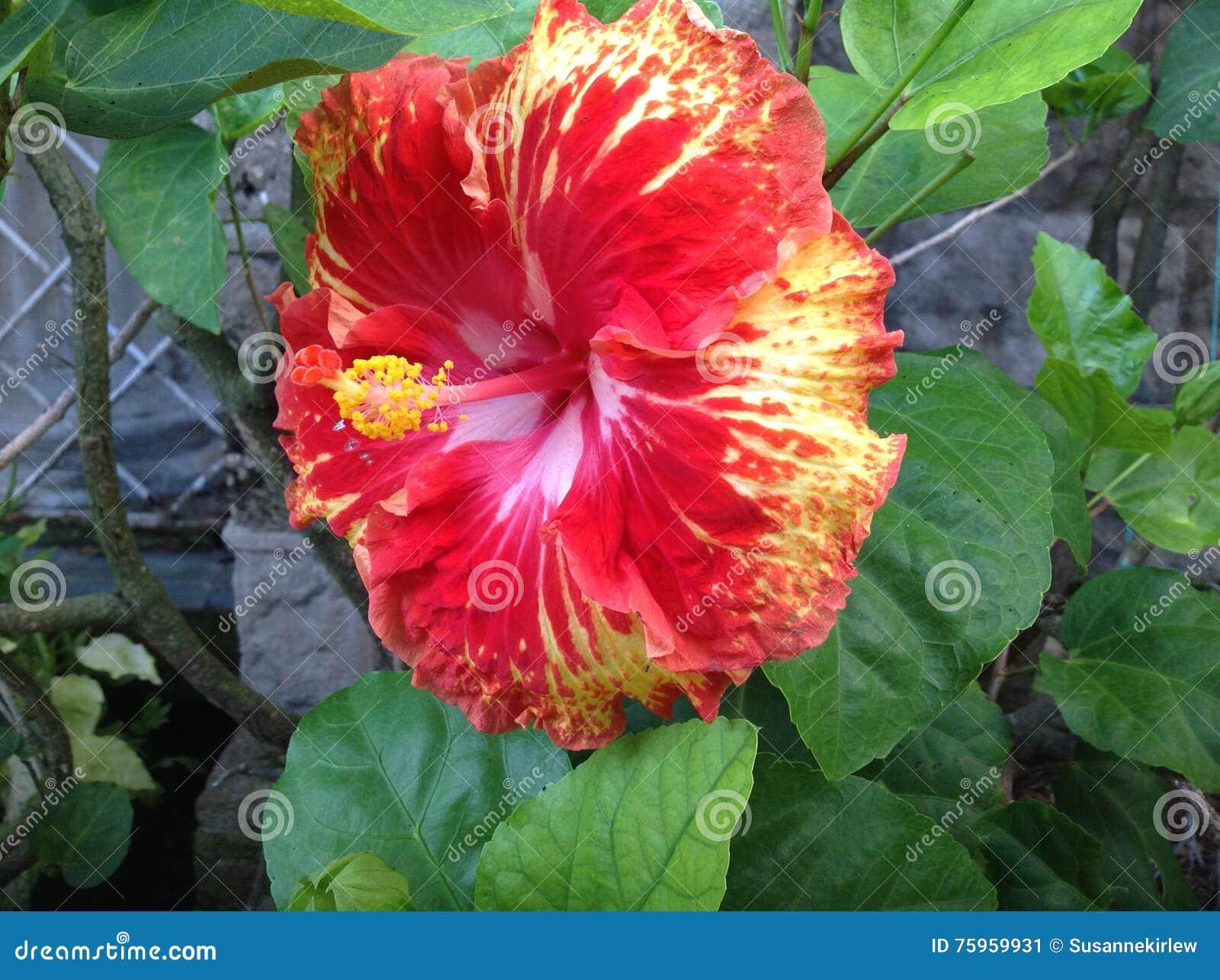 Hibiscus flower stock image image of jamaican ripe 75959931 jamaican hibiscus flower red with yellow centre izmirmasajfo