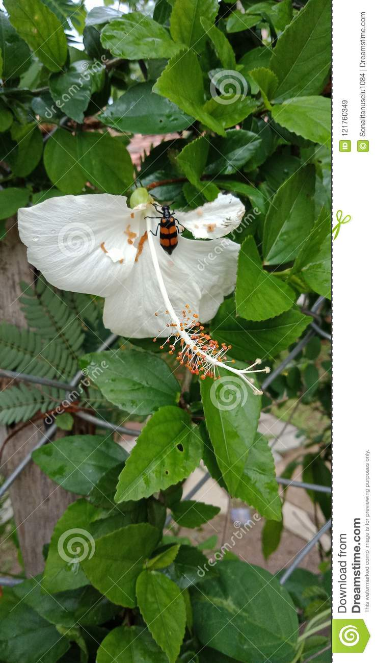 Hibiscus Flower With Ked Nature Background Wallpaper Stock Image