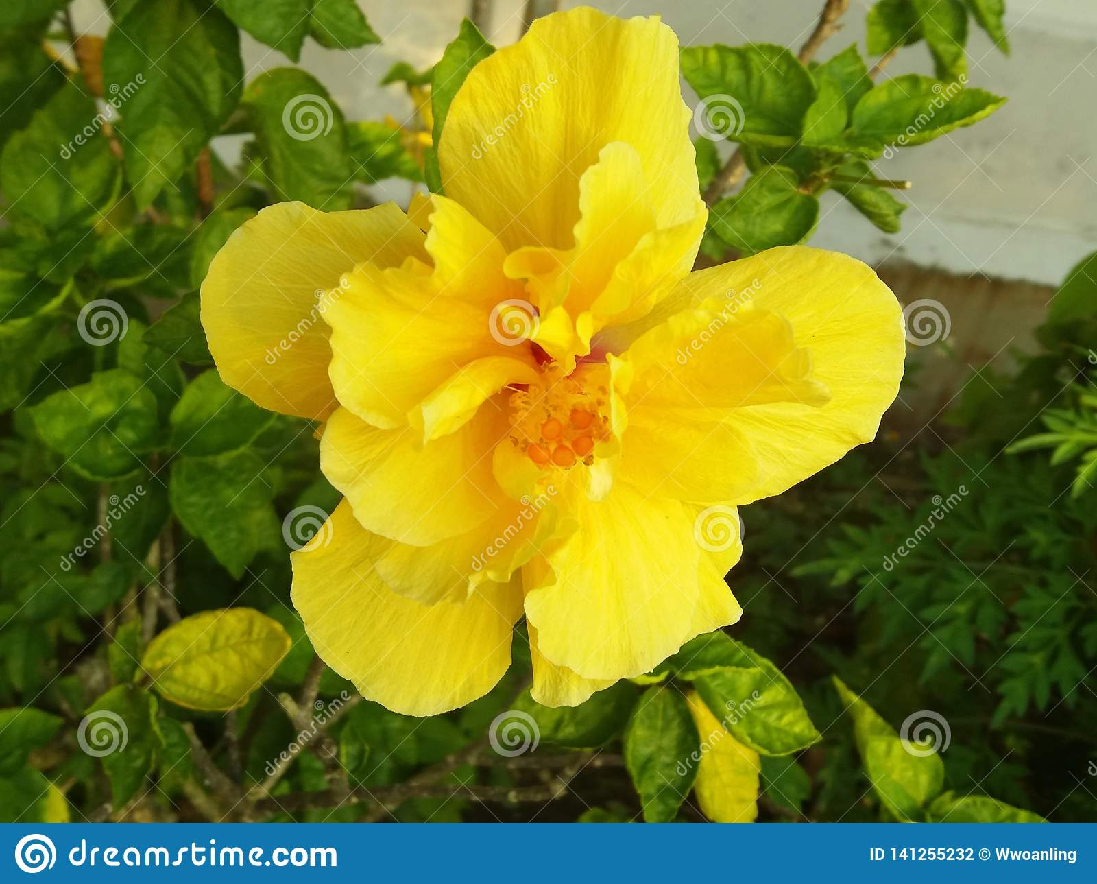 Yellow Gold Hibiscus Flowers Represent Gentle Adherence