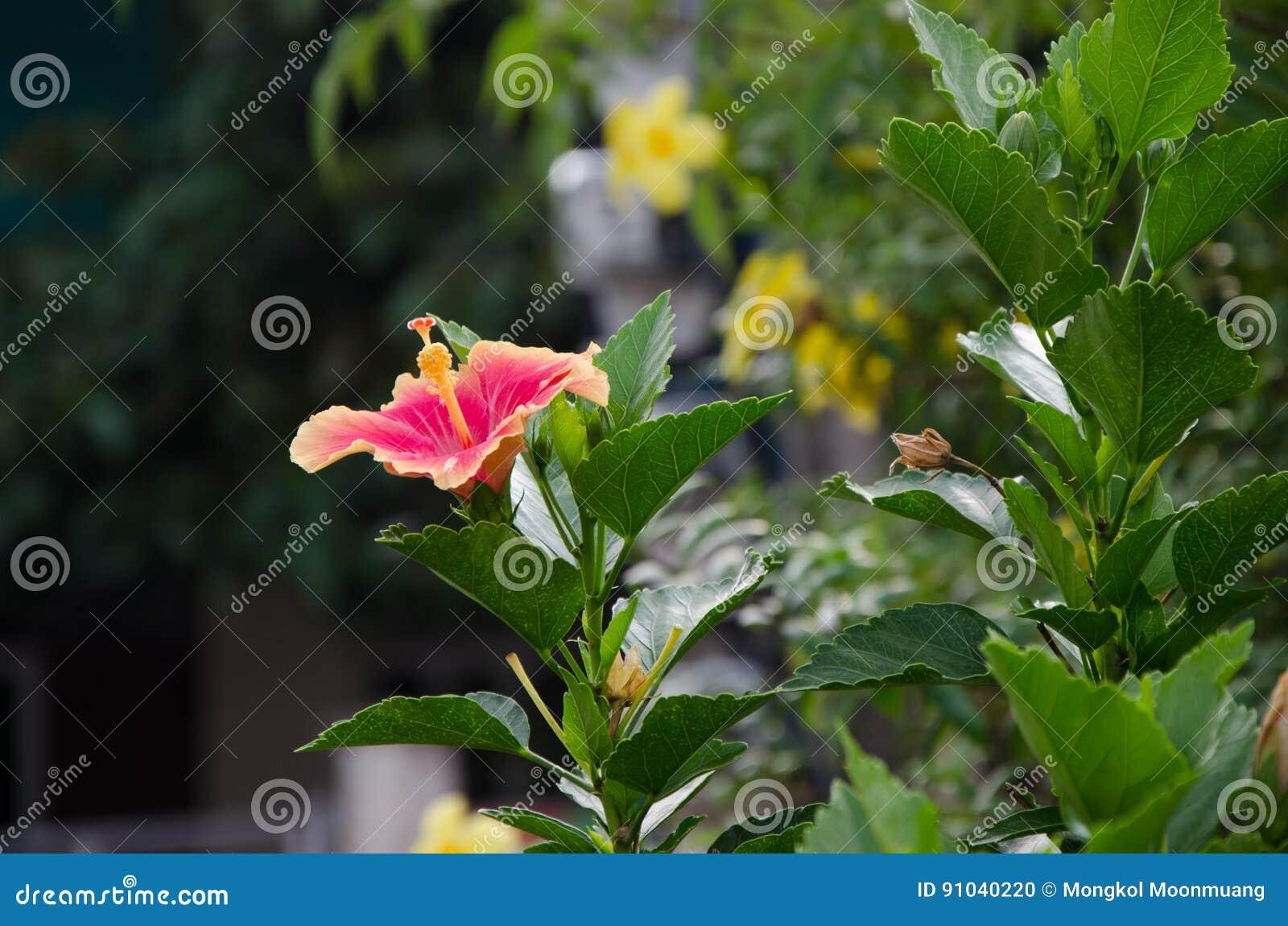 Hibiscus flower stock photo image of soaking water 91040220 hibiscus flower izmirmasajfo