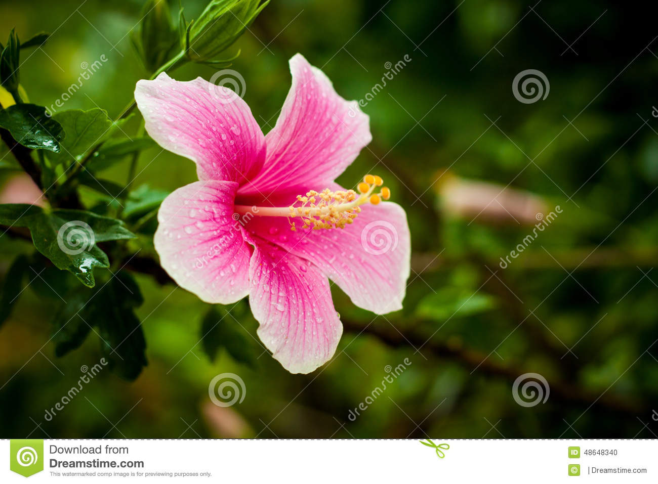 The hibiscus flower stock photo image of hibiscus gift 48648340 download the hibiscus flower stock photo image of hibiscus gift 48648340 izmirmasajfo