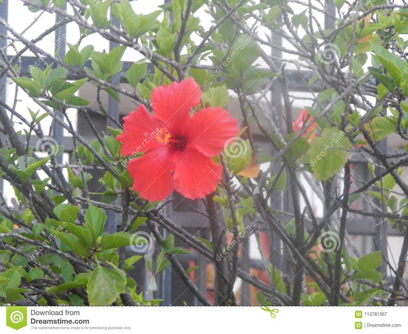 The hibiscus flower san diego ca stock image image of flowers download the hibiscus flower san diego ca stock image image of flowers drinks izmirmasajfo