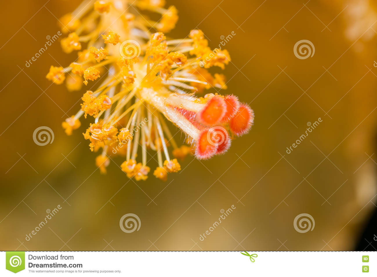 Hibiscus Flower Showing Pollen Details Close Up Stock Photo Image