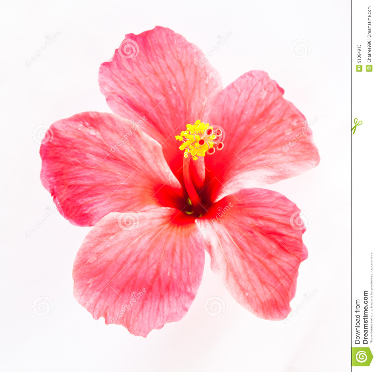 Hibiscus Flower Royalty Free Stock Photo - Image: 31364915