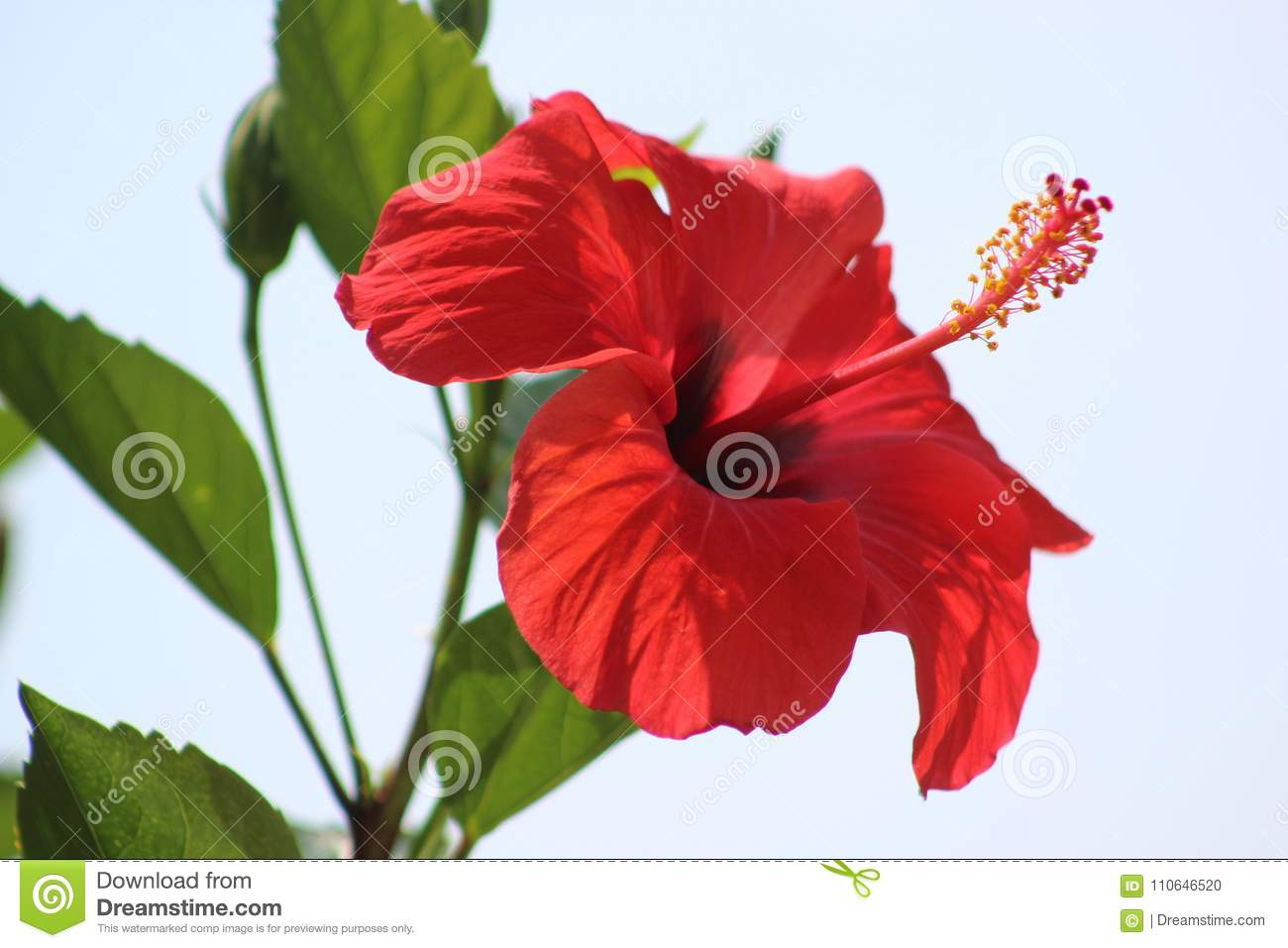 Hibiscus Flower Stock Photo Image Of Fabulous Park 110646520