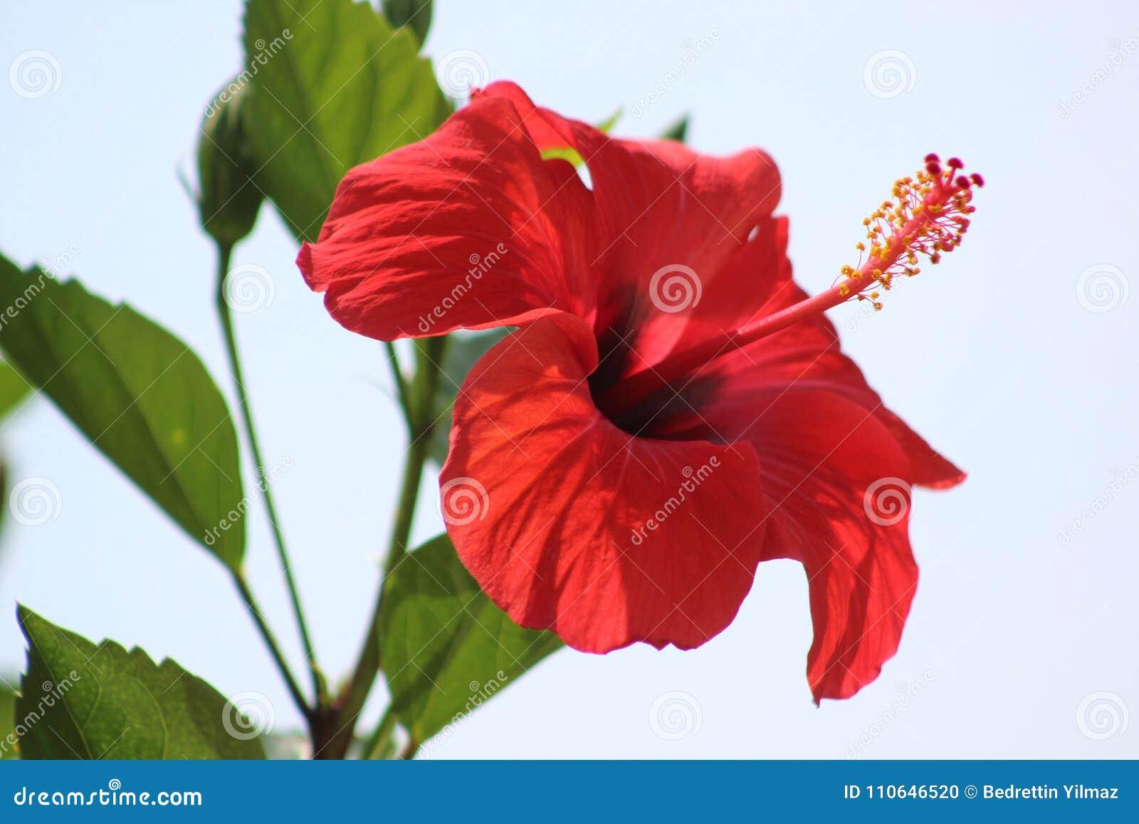 Hibiscus flower stock photo image of fabulous park 110646520 download comp izmirmasajfo