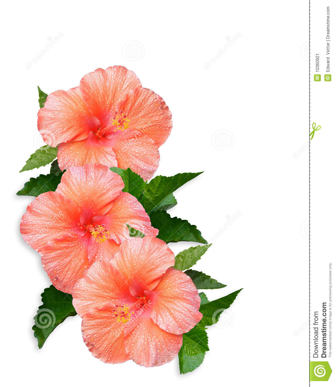 Hibiscus Flowers Border Stock Illustration Illustration Of Artistic