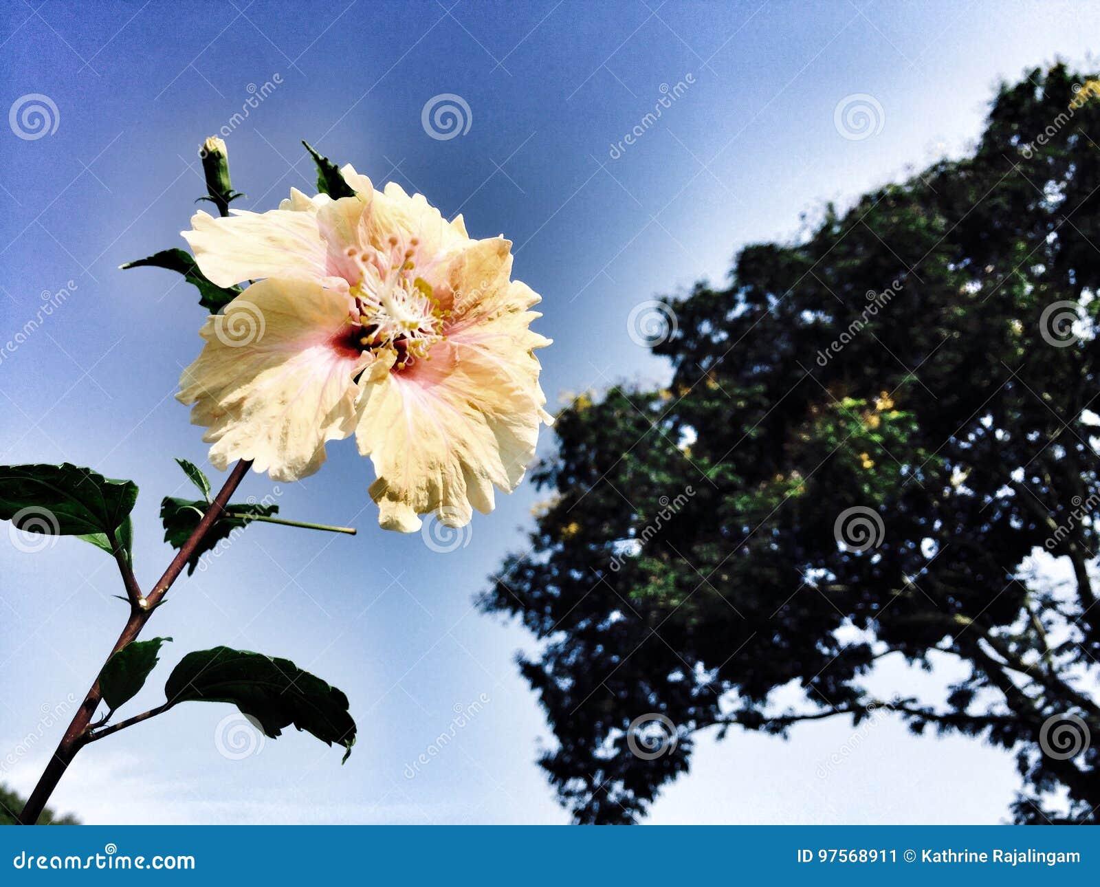 Hibiscus Stock Image Image Of Flowersforfunerals Extracts 97568911