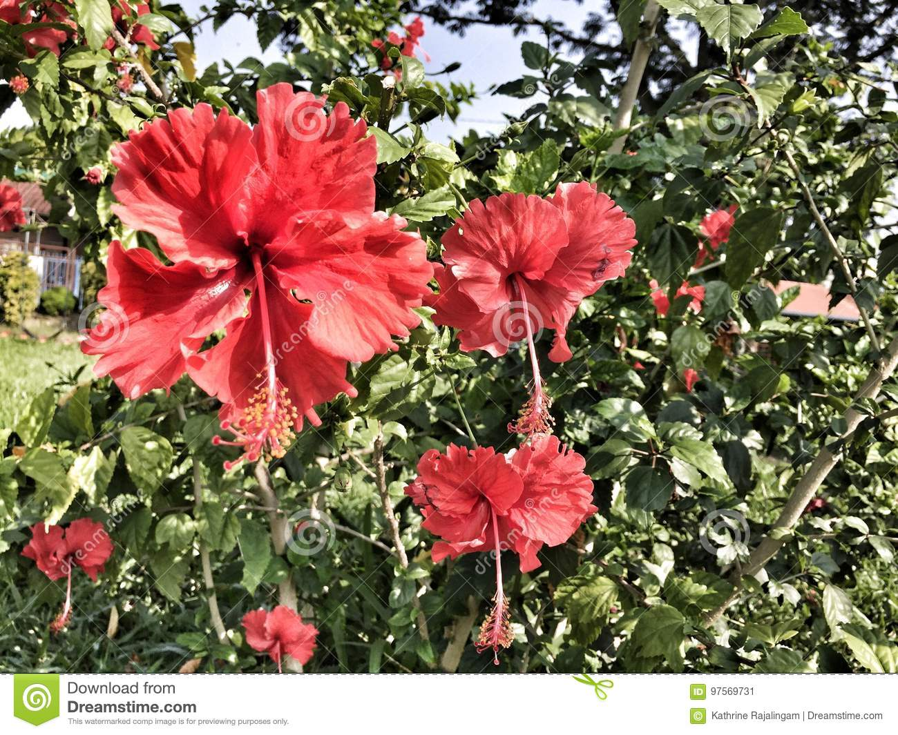 Hibiscus stock image image of nature occasions magnificence flowers of hibiscus plants to make teas and liquid extracts dry hibiscus flower edible izmirmasajfo