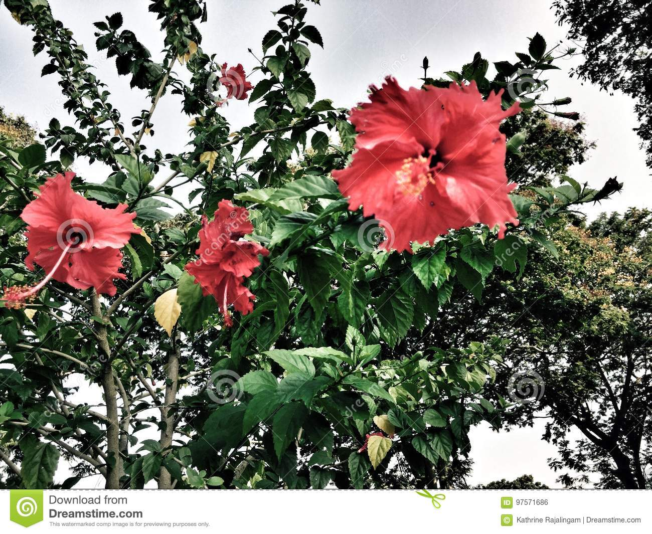 Hibiscus stock photo image of beauty occasions make 97571686 flowers of hibiscus plants to make teas and liquid extracts dry hibiscus flower edible izmirmasajfo