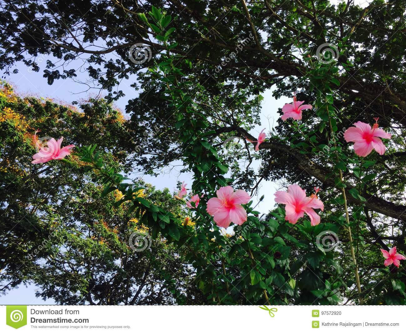 Hibiscus stock photo image of colorful symbolizes occasions flowers of hibiscus plants to make teas and liquid extracts dry hibiscus flower edible izmirmasajfo