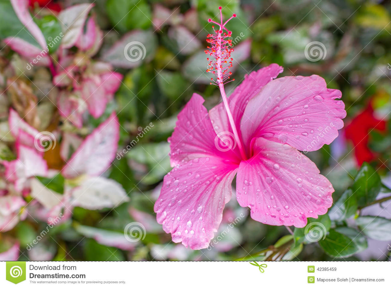 Hibiscus Flowers Thai Flower Stock Image Image Of Herb Isolate