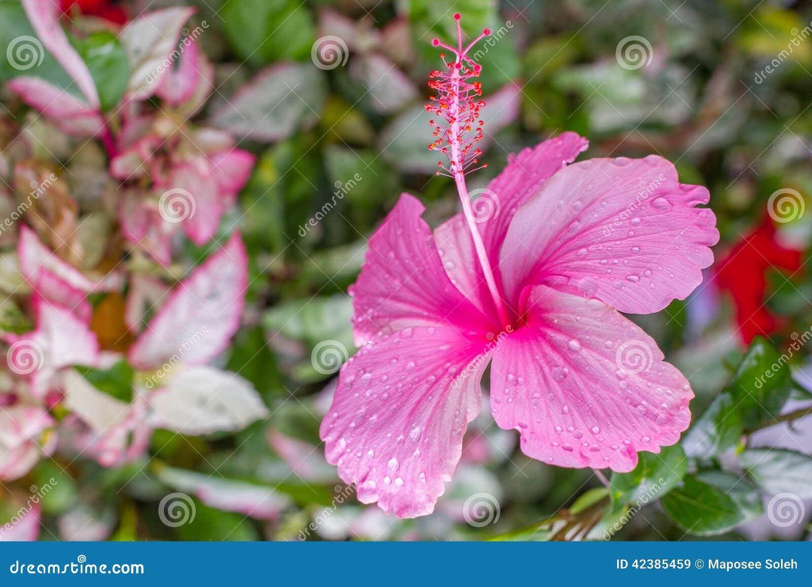 Hibiscus flowers thai flower stock photo image 42385459 flower flowers hibiscus dhlflorist Image collections
