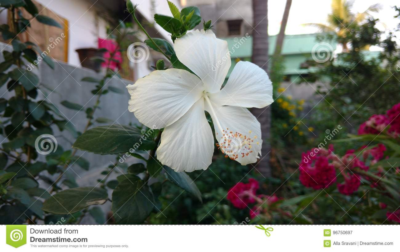 Hibiscus Flowers White Hibiscus Rose Mallow Stock Image Image Of