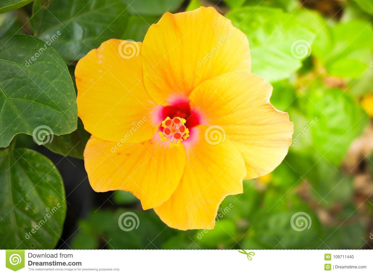 Hibiscus In The Garden Stock Photo Image Of Flowers 109711440