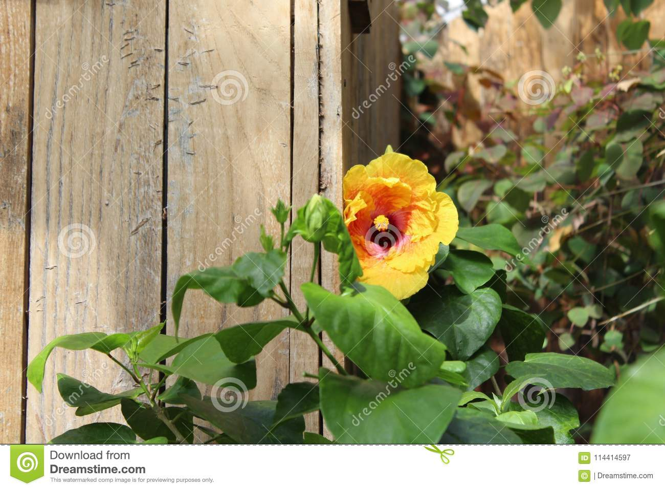 Yellow Hibiscus By Wooden Fence Stock Image Image Of Petal Plant