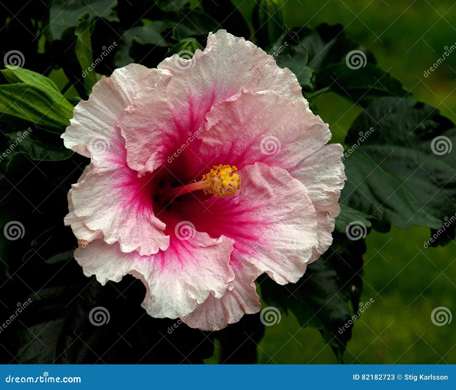 Hibiscus hawaiirose rosa adonicus stock image image of florida download comp izmirmasajfo