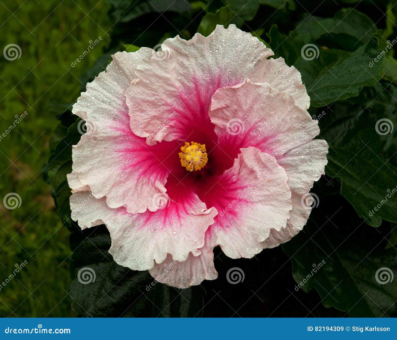 Hibiscus hawaiirose rosa adonicus stock image image of macro royalty free stock photo izmirmasajfo