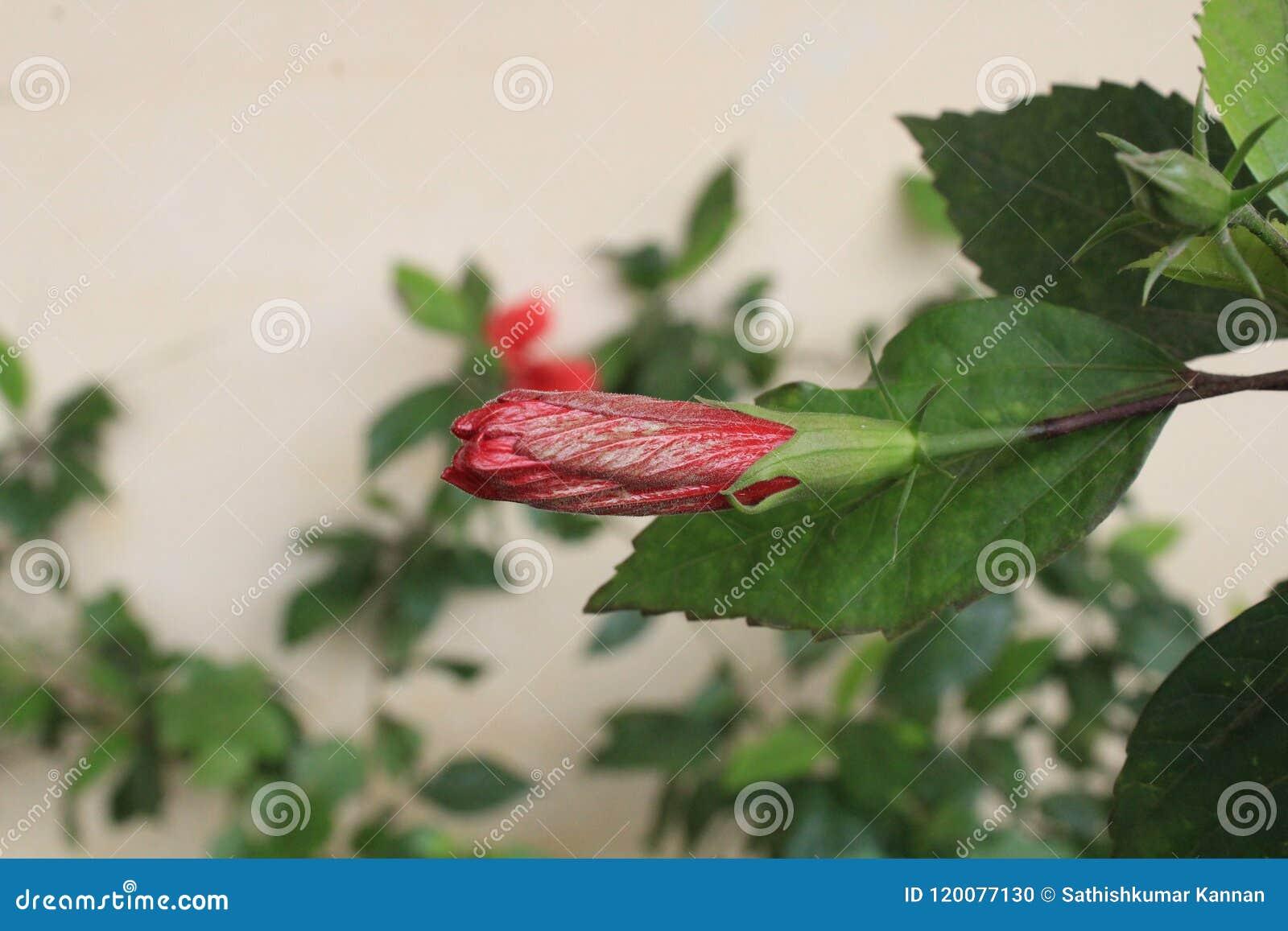 Hibiscus medium bud flower in photos stock photo image of hibiscus medium bud flower in photos izmirmasajfo