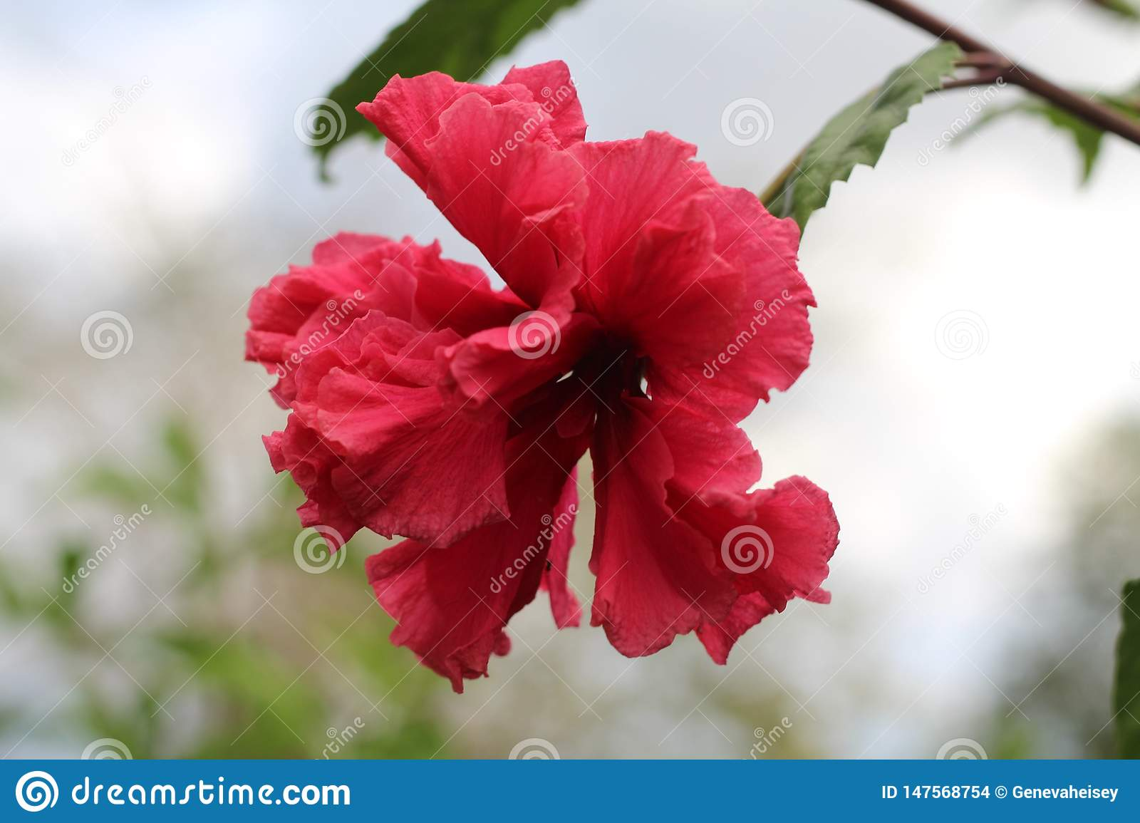 Hibiscus na flor