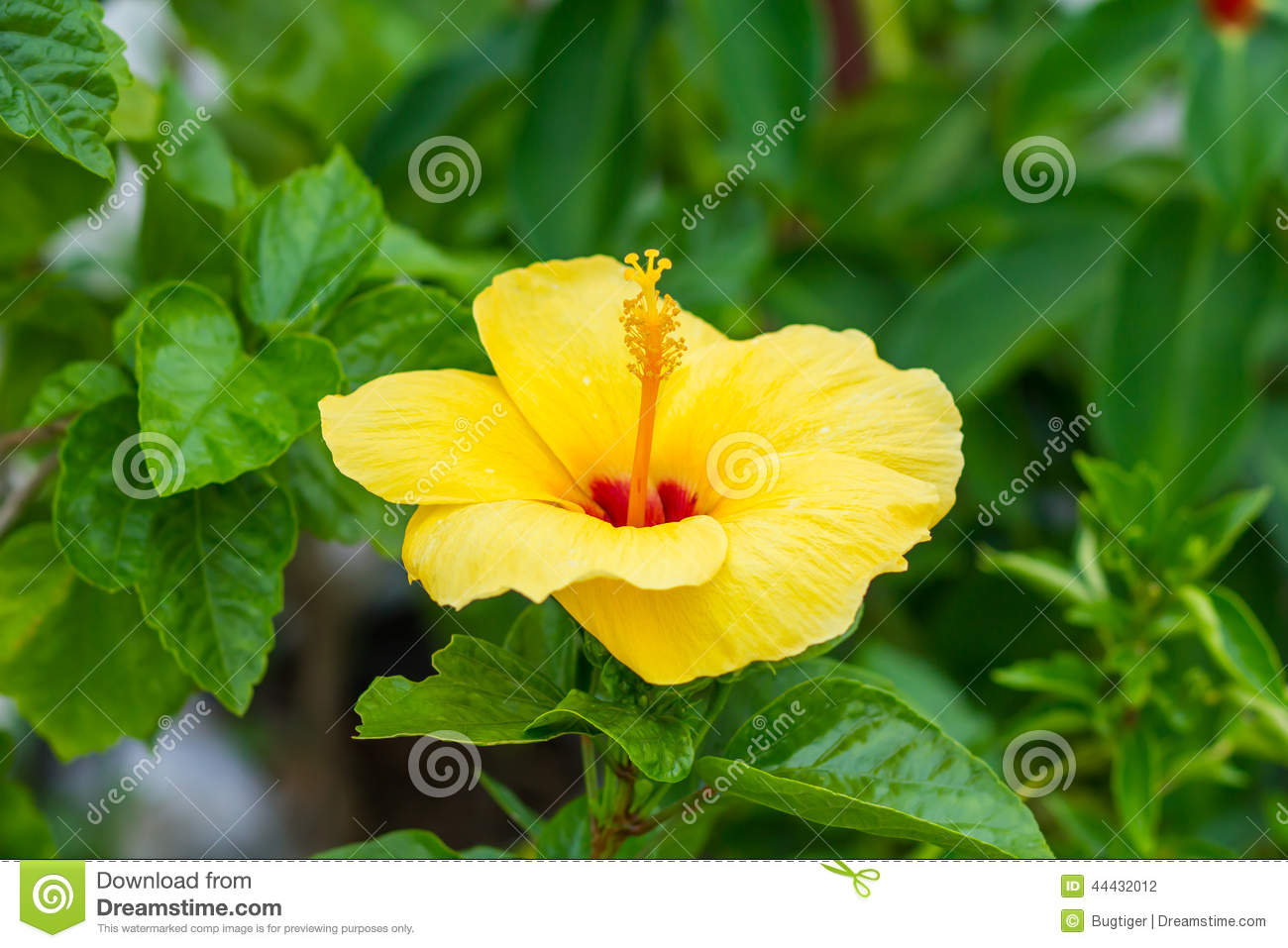 Hibiscus the national flower stock photo image of national download hibiscus the national flower stock photo image of national health 44432012 izmirmasajfo