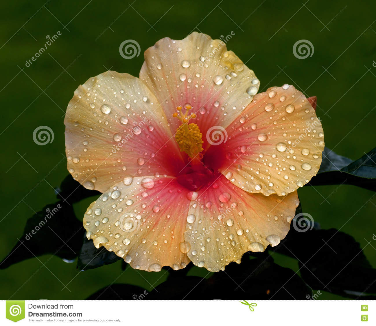 Beautiful Places In Malaysia With Description: Hibiscus Royalty-Free Stock Photography