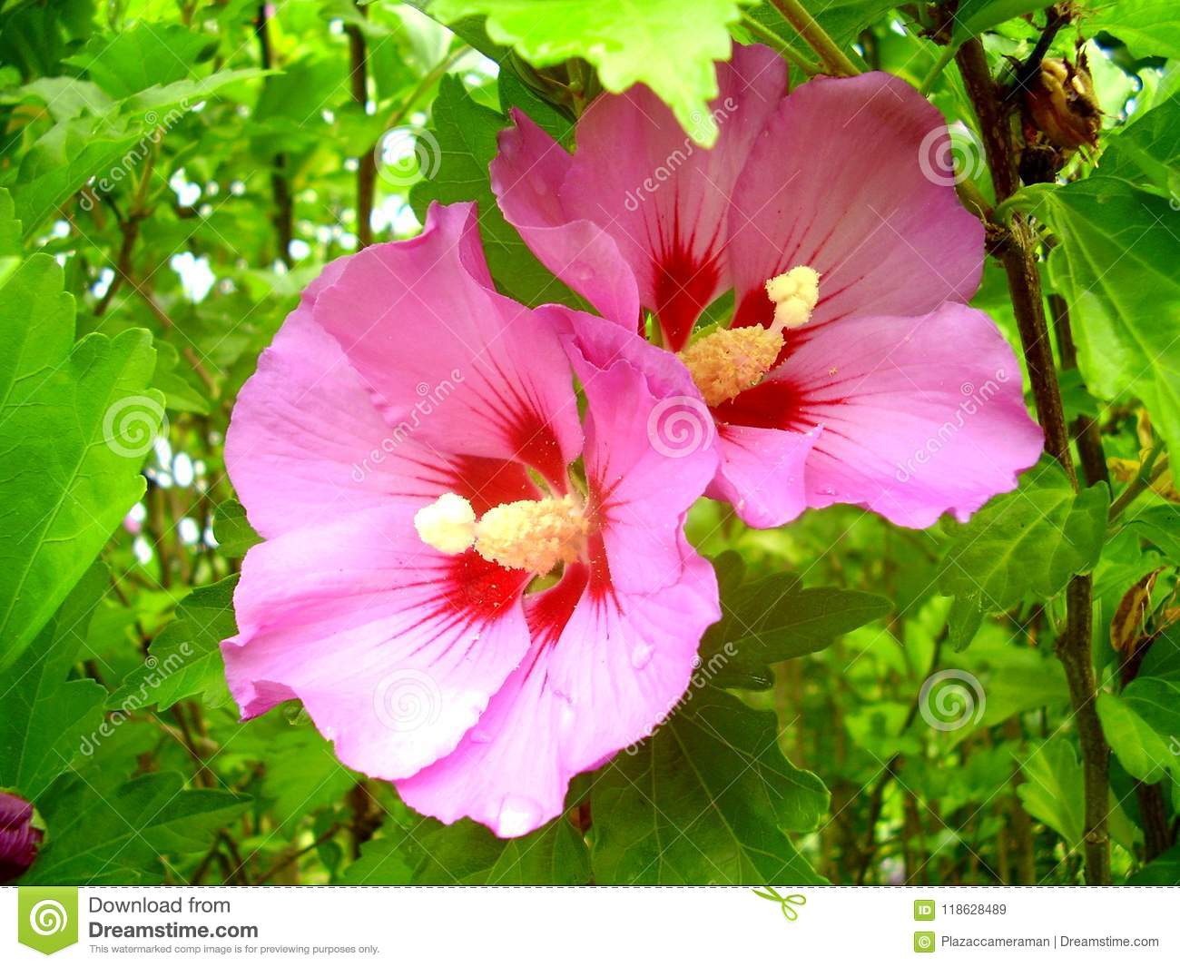 Hibiscus Plant In Full Flower Stock Image Image Of Colour Exotic