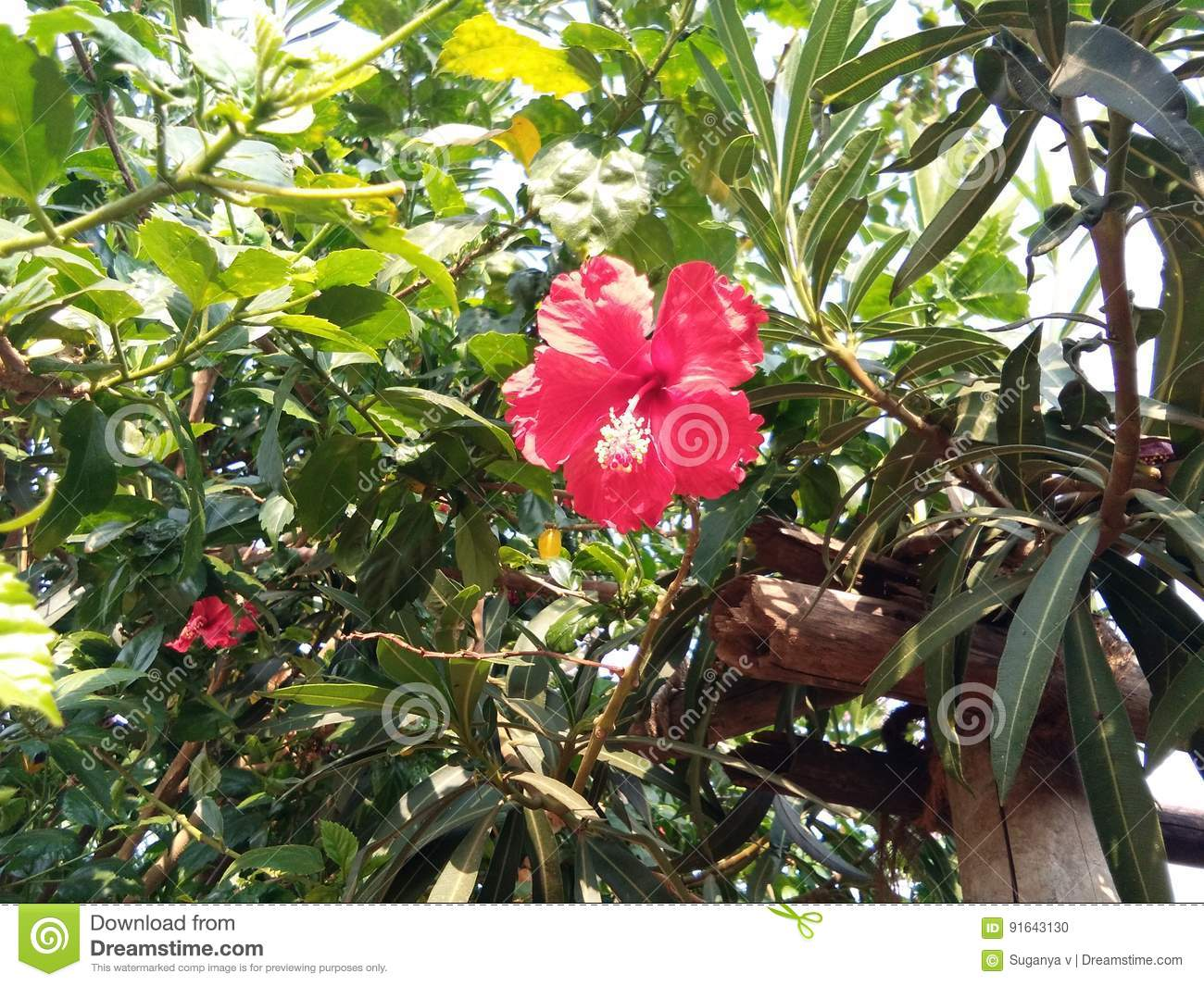 Hibiscus rosa stock photo image of called flower semparuthi hibiscus rosa flower and it called semparuthi in tamil red cute flower izmirmasajfo
