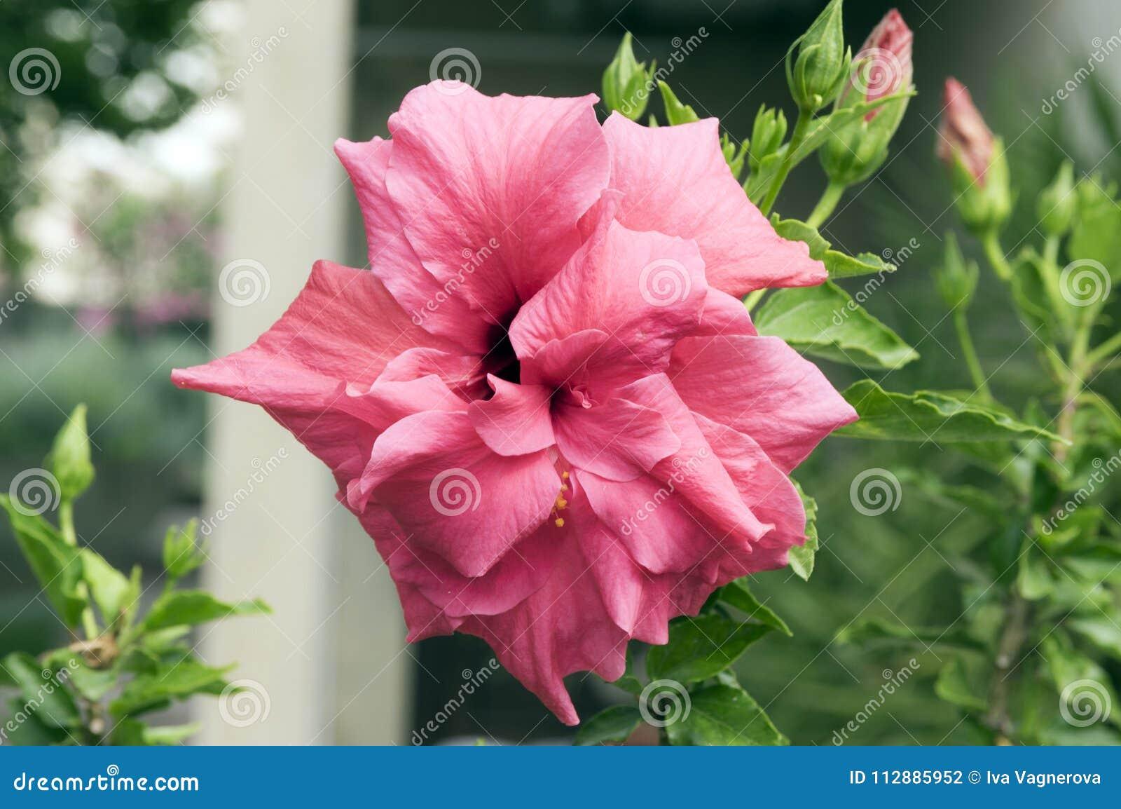 Hibiscus rosa sinensis chinese hibiscus flowering shrub with buds hibiscus rosa sinensis chinese hibiscus flowering shrub with buds izmirmasajfo