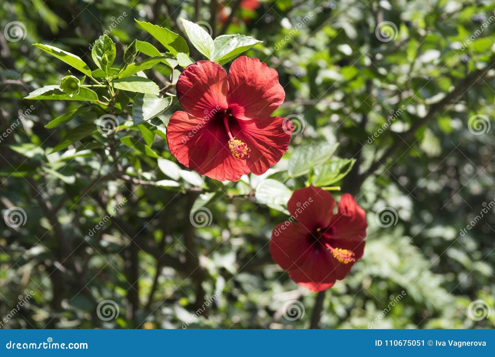Hibiscus rosa sinensis chinese hibiscus flowering shrub stock image download hibiscus rosa sinensis chinese hibiscus flowering shrub stock image image of blooming izmirmasajfo