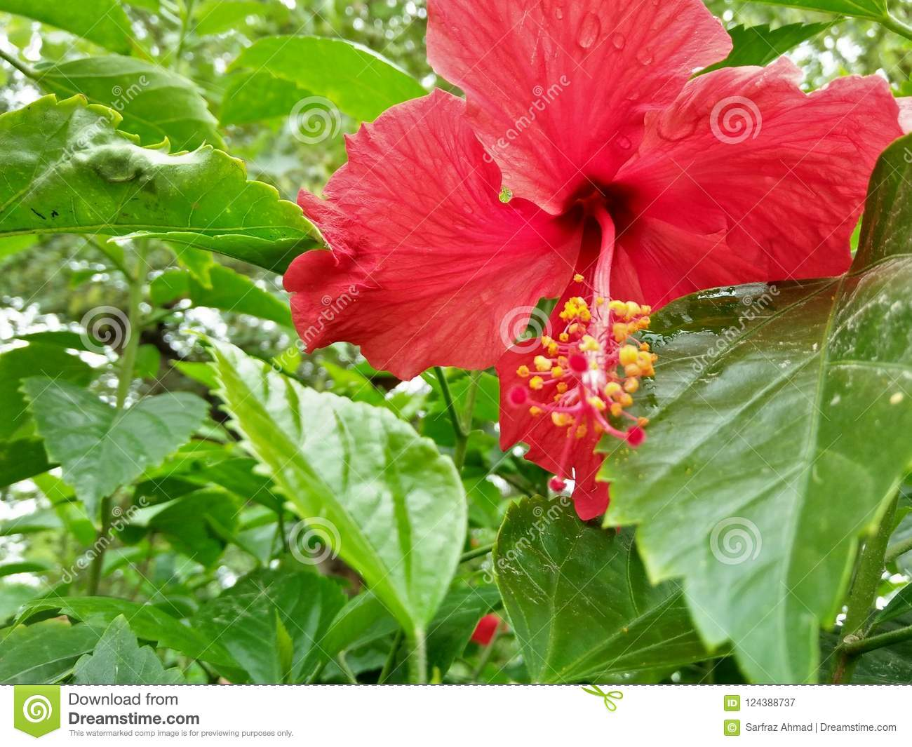 Hibiscus Rosa Sinensis Stock Image Image Of Evergreen 124388737