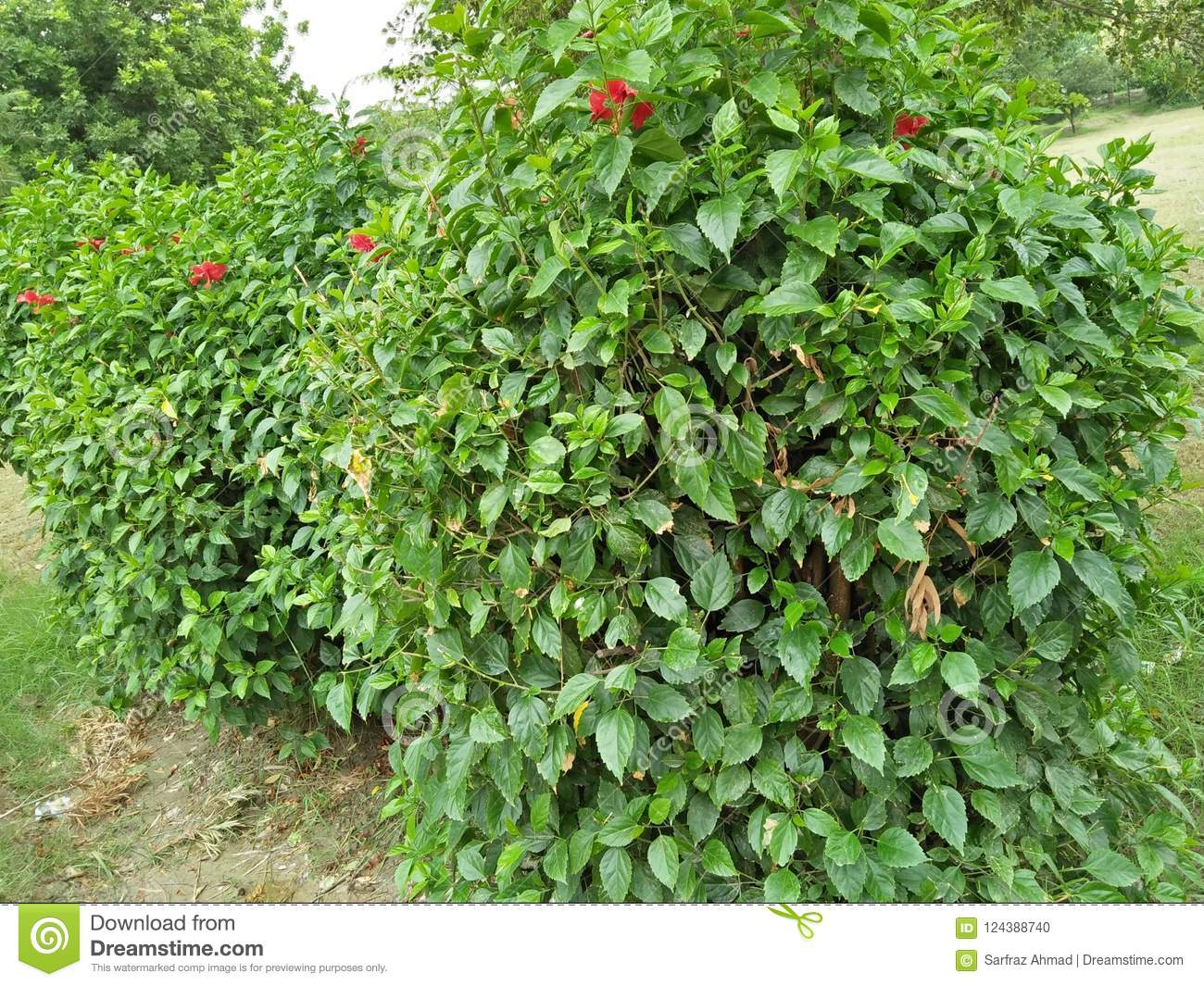 Hibiscus Rosa Sinensis Stock Photo Image Of Tall 5 124388740