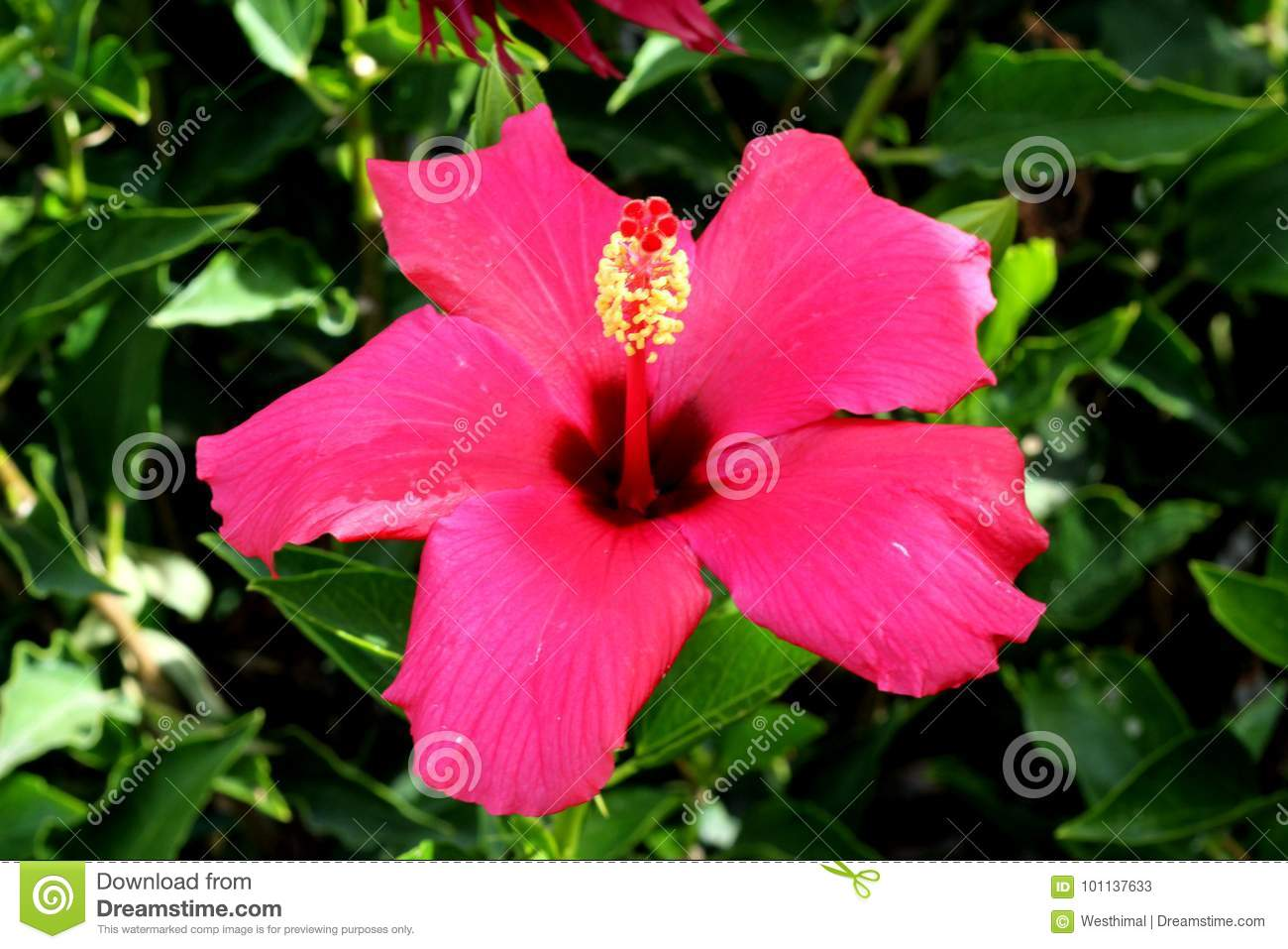 Hibiscus rosa sinensis painted lady painted lady tropical hibiscus rosa sinensis painted lady painted lady tropical hibiscus evergreen shrub with large rosy red pink flowers with red center petals wavy edged izmirmasajfo