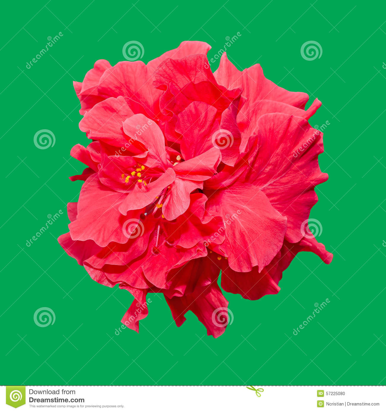 Hibiscus Rosa Sinensis Red Flower Known As Chinese Hibiscus China