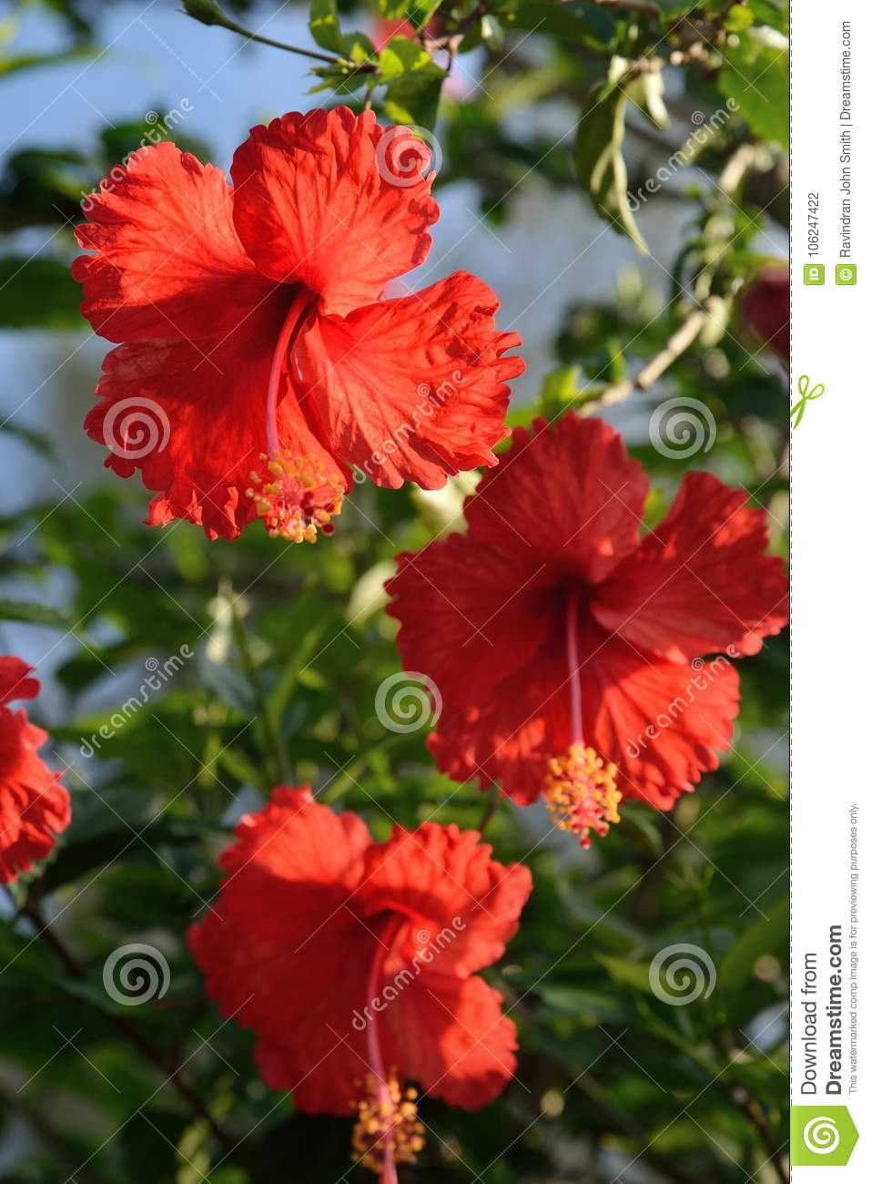 Hibiscus is the national flower of malaysia stock photo image of royalty free stock photo izmirmasajfo Choice Image