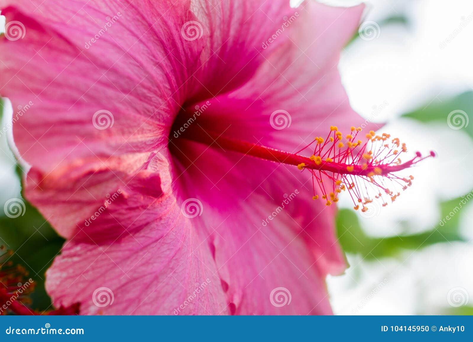 Hibiscus rose mallow over blue sky stock photo image of closeup download comp izmirmasajfo