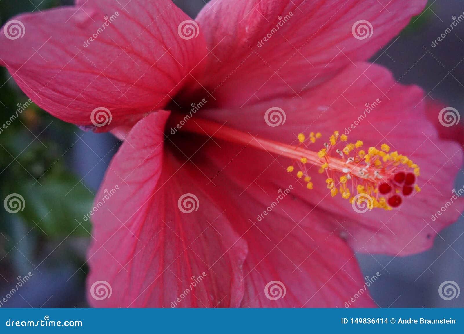 Hibiscus roxo no close-up com foco no pólen