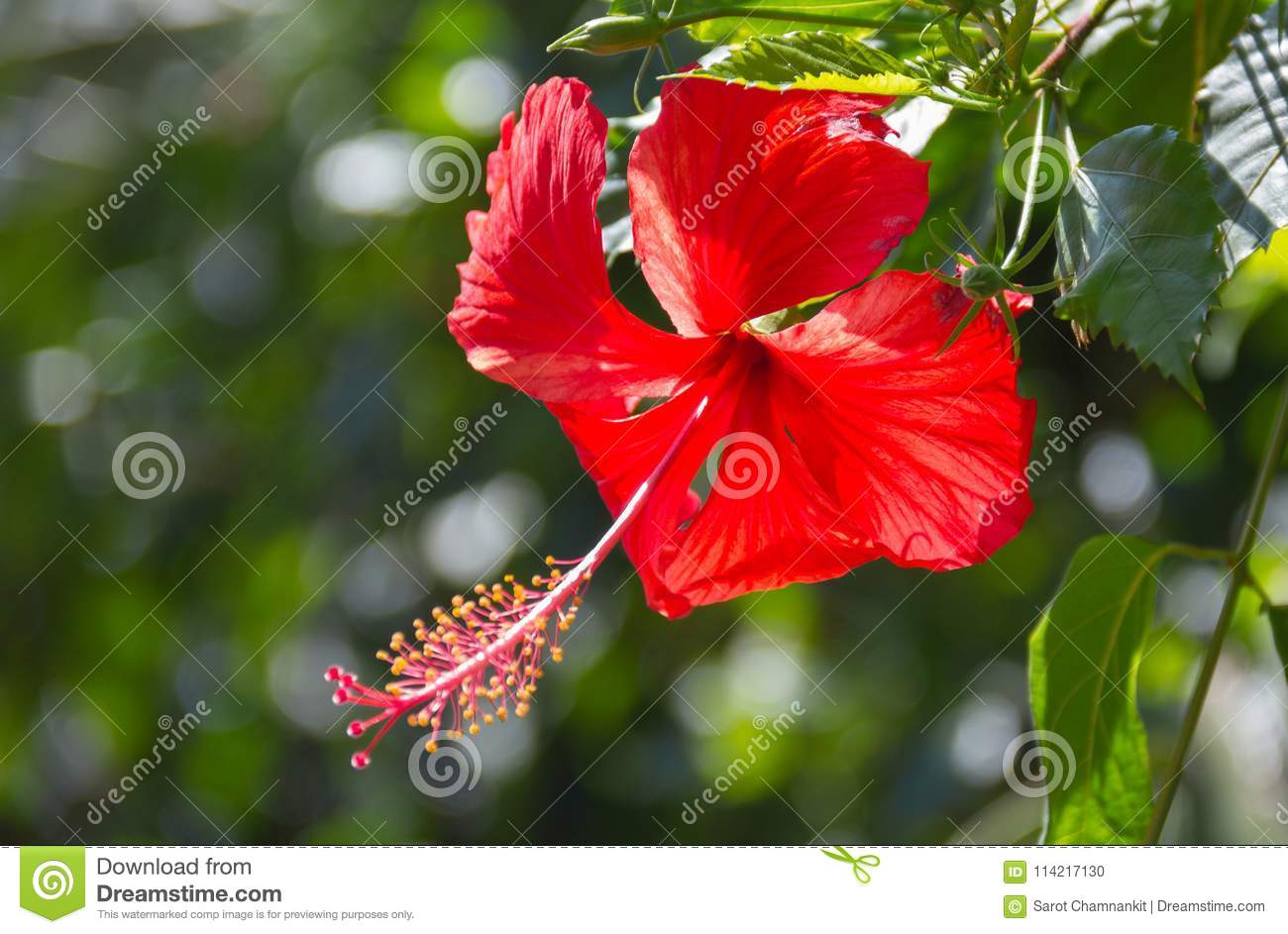 Hibiscus scientific name hibiscus rosa sinensis stock photo image hibiscus scientific name hibiscus rosa sinensis red flowers bloom beautifully on a tree in the garden among the natural background izmirmasajfo