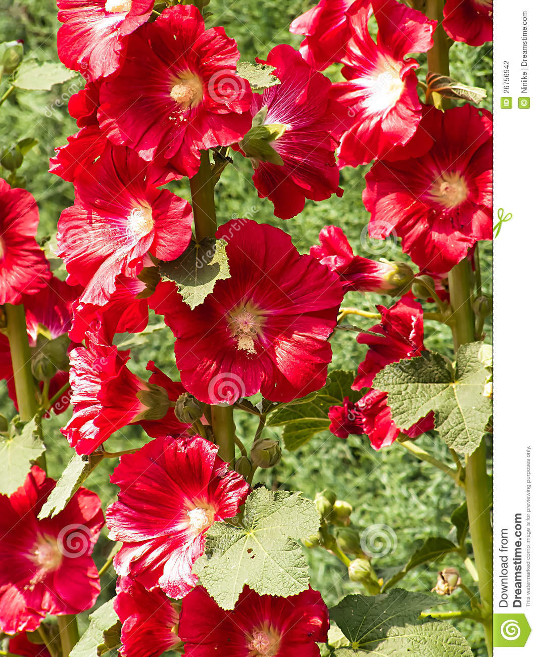 Hibiscus Shrub Stock Photography - Image: 26756942