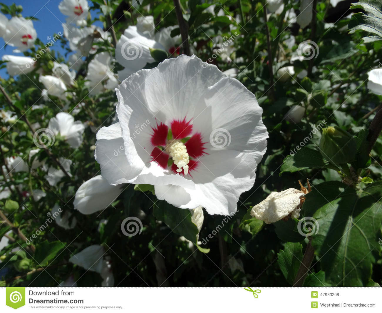 hibiscus syriacus 39 red heart 39 stock photo image 47983208. Black Bedroom Furniture Sets. Home Design Ideas